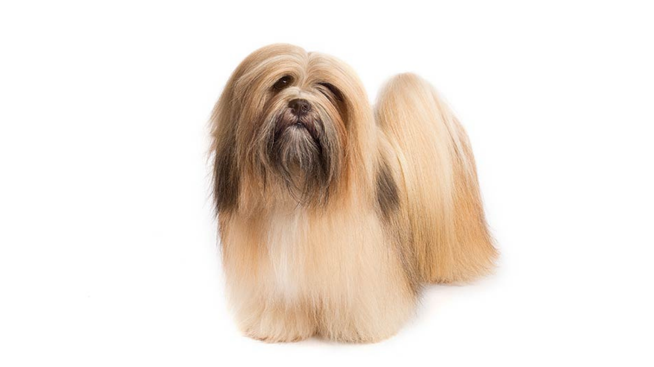 Lhasa Apso. The Whippet Media