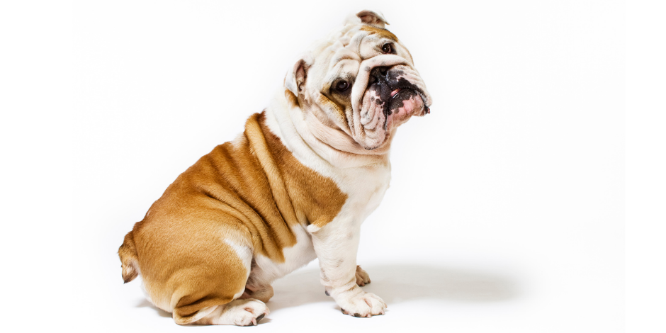 British Bulldog sitting down with lots of wrinkles.