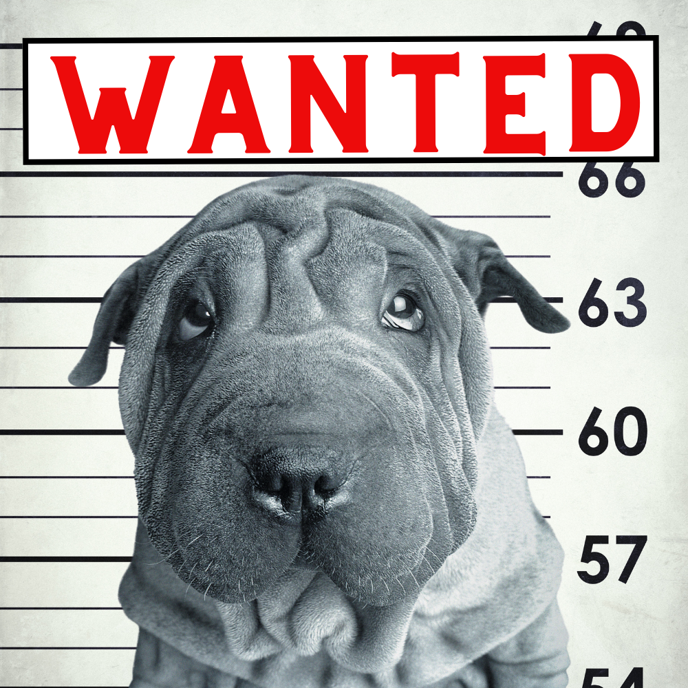 Shar Pei Wanted poster