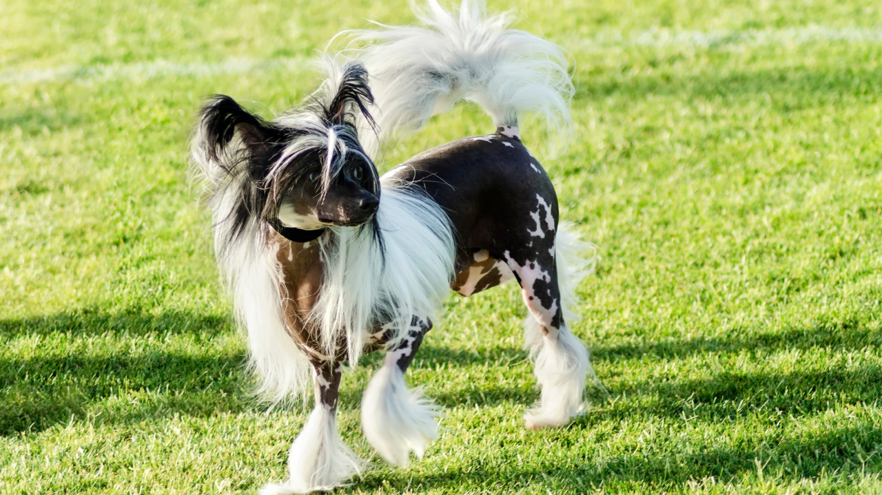 Chinese Crested walking. The Whippet Media