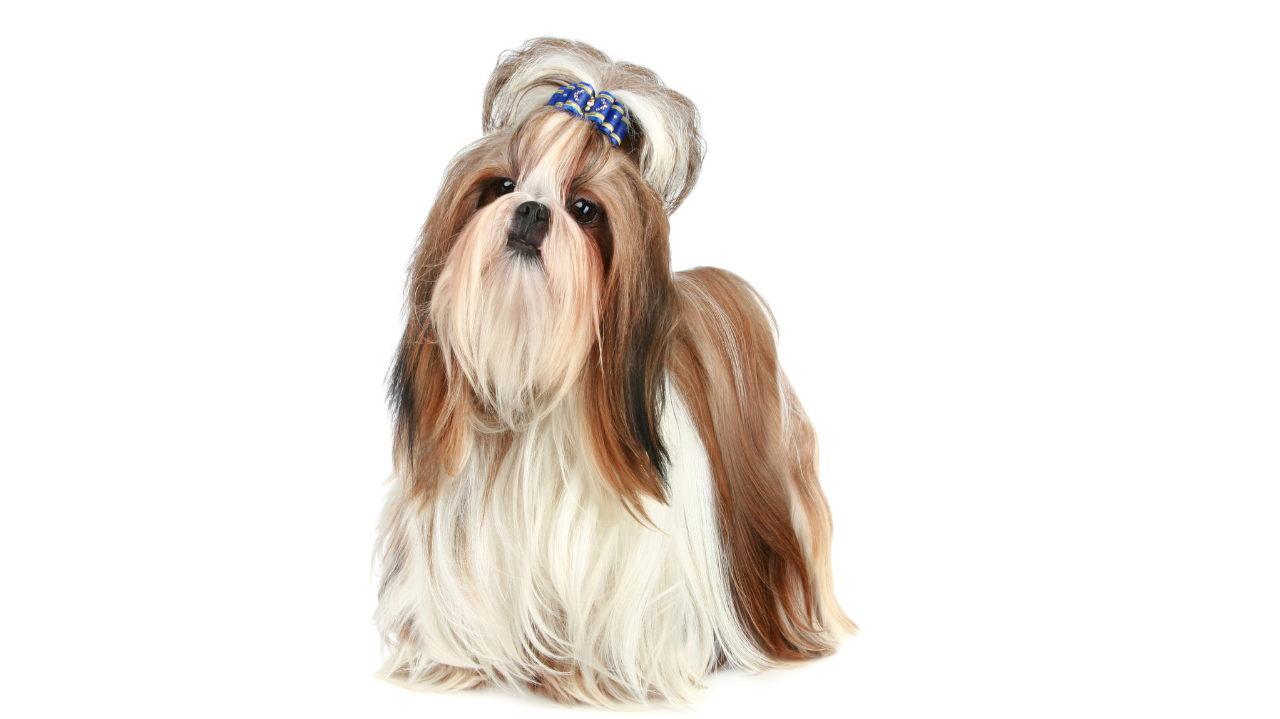 Shih tzu in full coat. The Whippet Media