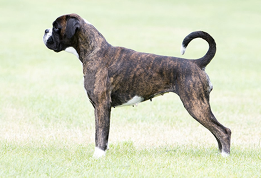 Photo credit- kennel club. Breed Standard Boxer